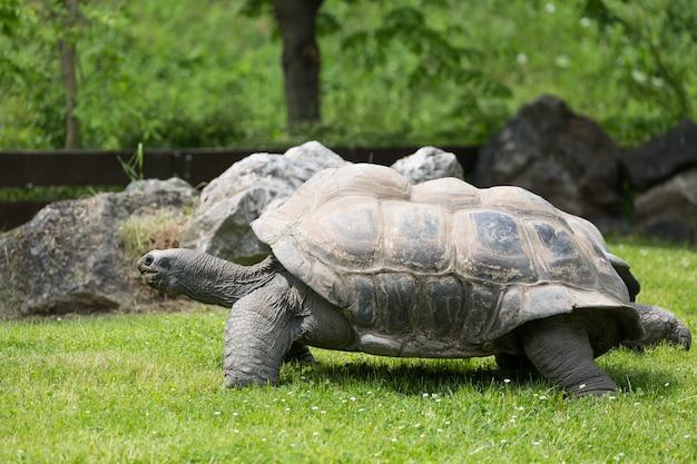 Portrait de tortue des galapagos et d'herbe verte