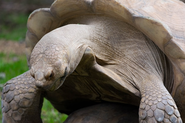 Portrait de tortue tortue des galapagos femelle