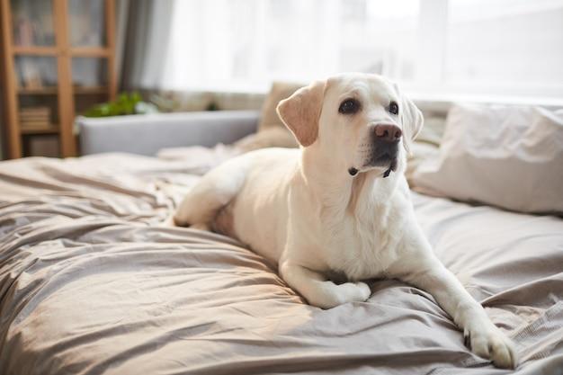 Portrait de toute la longueur du chien labrador blanc allongé sur le lit dans un intérieur confortable éclairé par la lumière du soleil, espace pour copie