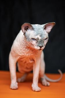 Portrait de toute la longueur de la race de chat sphynx canadien connue pour son manque de fourrure beau chat mâle
