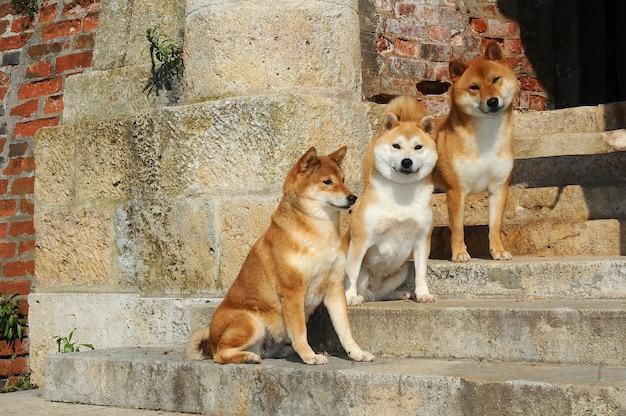 Portrait de trois chiens shiba
