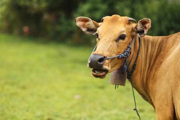 Portrait de vache couleur brune paissant dans un pré