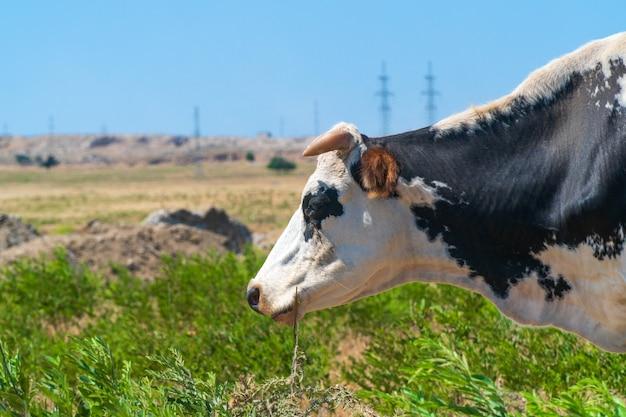 Portrait de vache tachetée sur le terrain