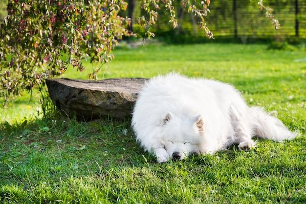 Portrait de vieillesse chien samoyède à l'extérieur