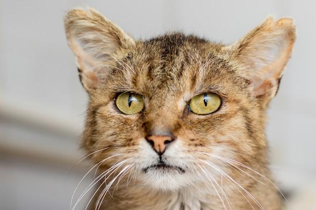 Portrait d'un vieux chat brun close-up