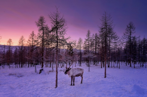 Portrait d'un vieux renne avec de magnifiques bois debout sur un coucher de soleil d'automne. khuvsgol, mongolie.