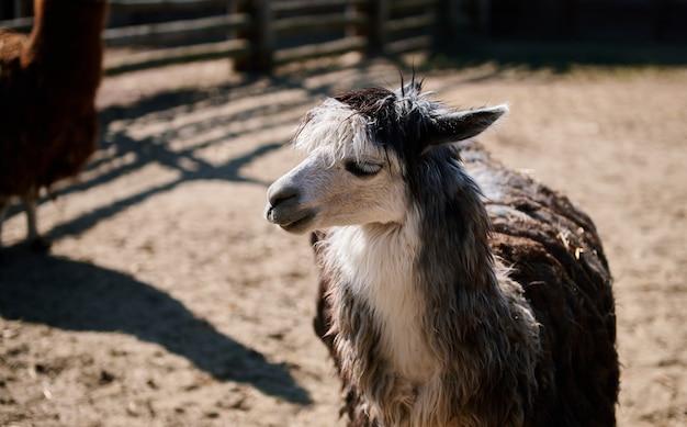 Portrait de visage de lama alpaga drôle dans le zoo