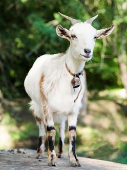 Portrait vue de face d'une chèvre blanche
