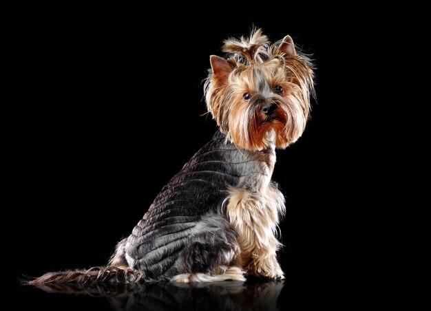 Portrait d'un yorkshire terrier