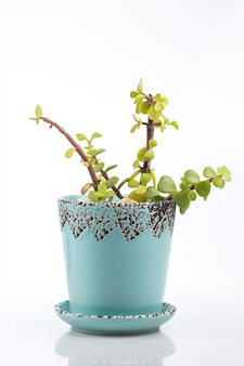 Portulacaria afra, porkbush dans un petit pot bleu, isolé.