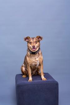 Posant pour la photo de studio petit chien brun assis sur le podium