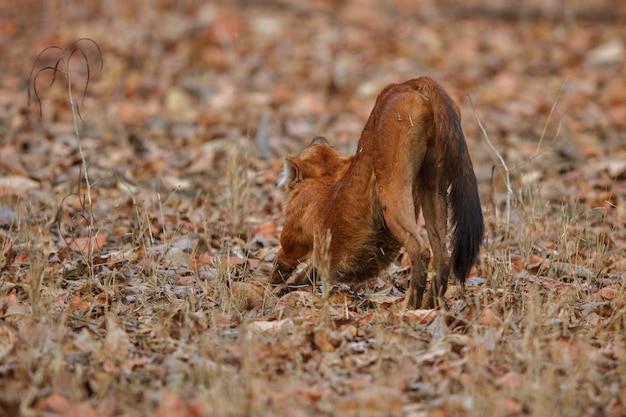 Pose de chien sauvage indien dans l'habitat naturel