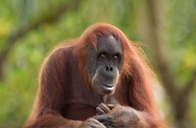 Postrait d'orangutan