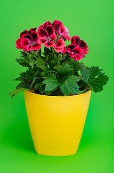 Pot de fleur avec belle floraison de pélargonium rose.