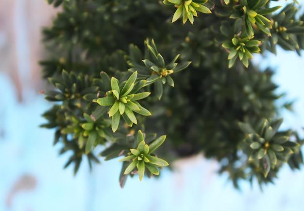 Pot de fleur avec de jeunes plants de myrte à l'extérieur