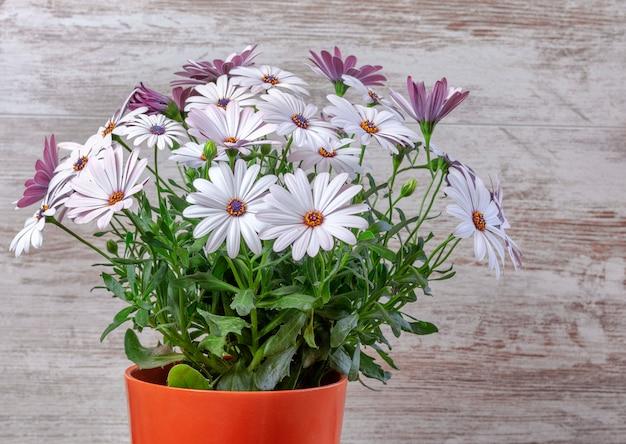 Pot de fleurs avec marguerites violettes belle