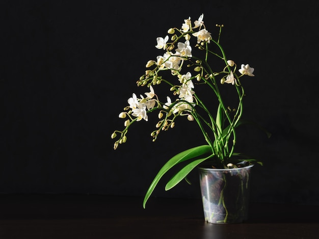 Pot avec une orchidée blanche sur fond noir. elevage d'orchidées. orchidée phalaenopsis blanche en pot