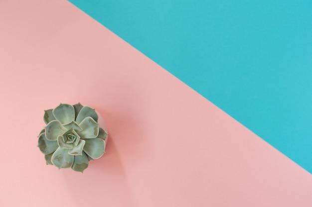 Pot succulent sur rose et bleu.