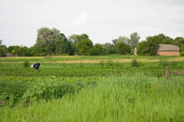 Un potager un jour d'été dans un village ukrainien et une femme travaillant dans le jardin