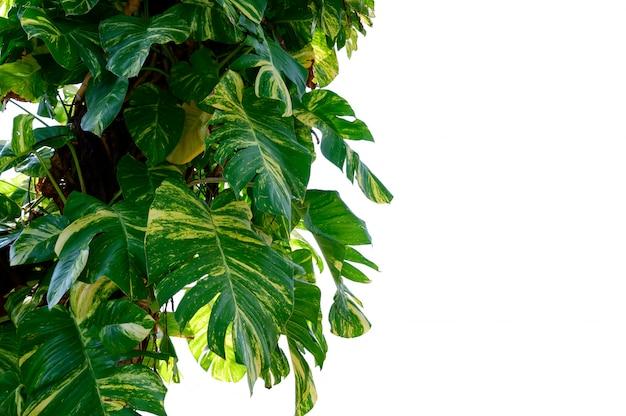 Pothos doré isoler feuille de betel tacheté fond blanc