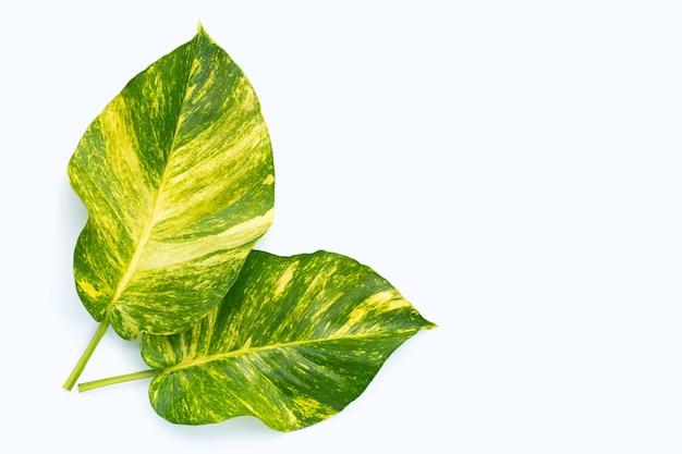 Pothos d'or ou feuilles de lierre du diable sur une surface blanche