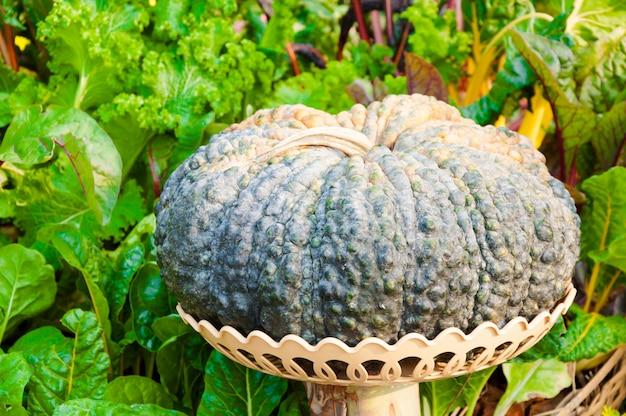Potiron mis sur panier dans le jardin, récolte automne
