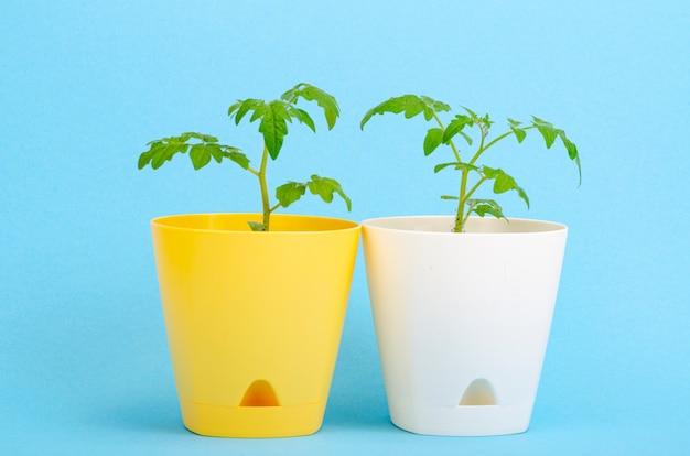 Pots, conteneurs avec de jeunes plants verts de tomates sur bleu