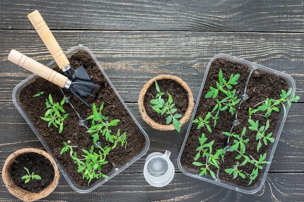 Pots écologiques avec de jeunes pousses de tomates sur fond de bois, truelle de jardin et râteaux et un verre d'eau pour l'arrosage
