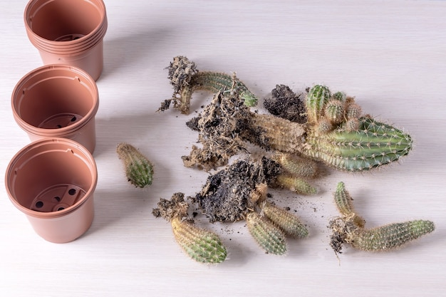 Pots de fleurs et cactus avec de la terre