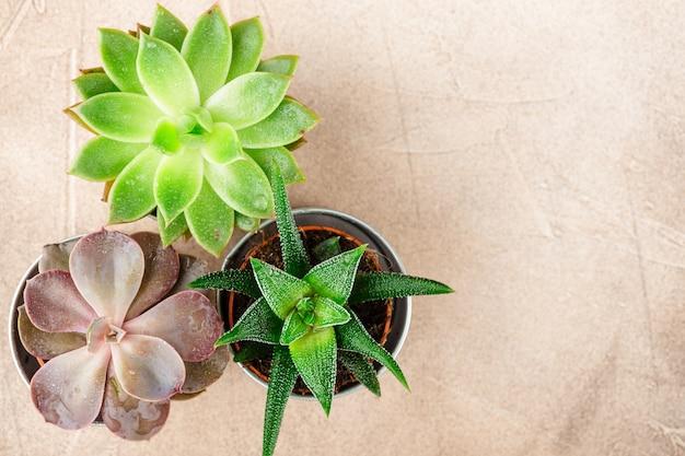 Pots avec des plantes succulentes de echeveria, haworthia