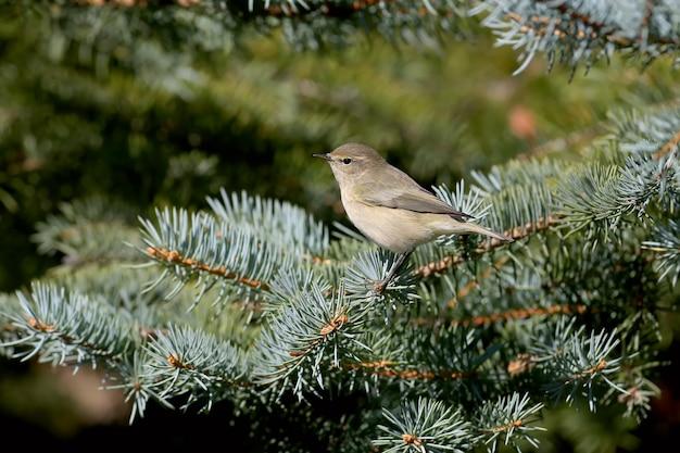 Pouillot commun est assis sur des branches d'épinette bleue dans une douce lumière du matin