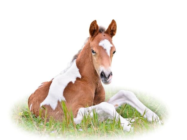 Poulain brun et blanc se reposant et regardant avec suspicion, bébé cheval assis dans l'herbe verte sur fond blanc isolé