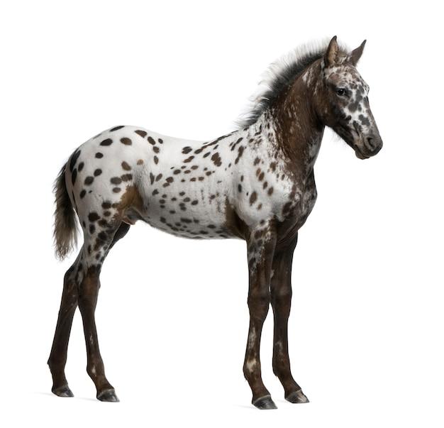 Poulain croisé entre un appaloosa et un cheval frison debout