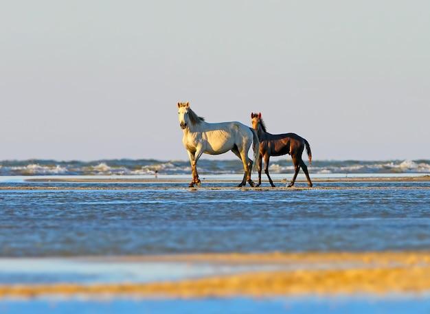 Un poulain avec une maman au bord de la mer dans la douce lumière du matin