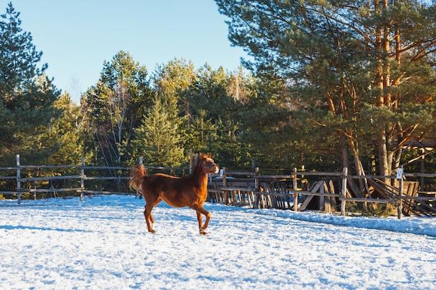 Un poulain rouge court au galop le long du terrain de parade. journée d'hiver ensoleillée