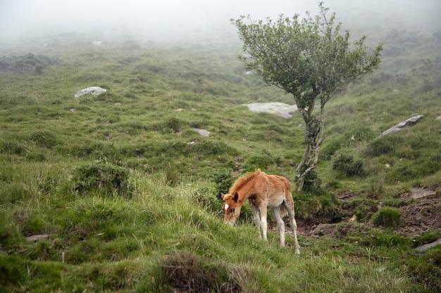 Poulain rouge paissant sur une colline dans le brouillard. jeune cheval mange de l'herbe fraîche verte dans un pâturage de montagne