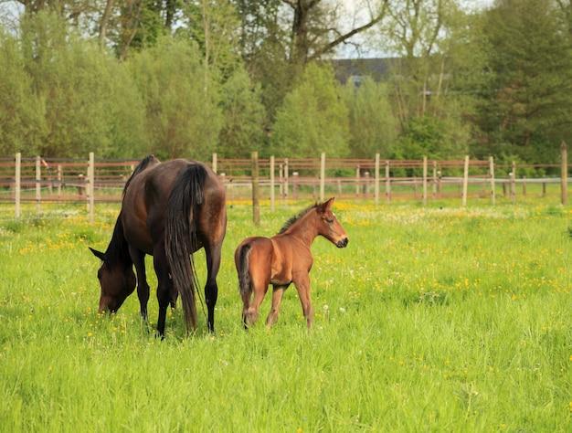 Poulain et sa mère dans un champ
