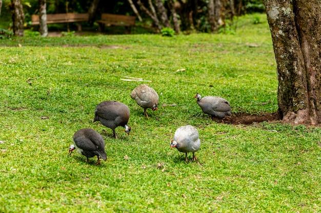 Poule d'angola marchant sur la pelouse de la ferme.