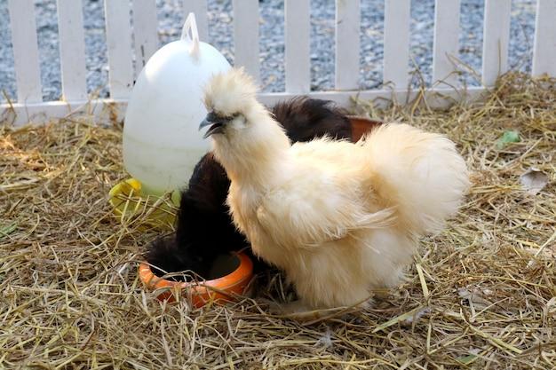 Poule blanche et noire manger de la nourriture dans la ferme. concept animal et bétail.