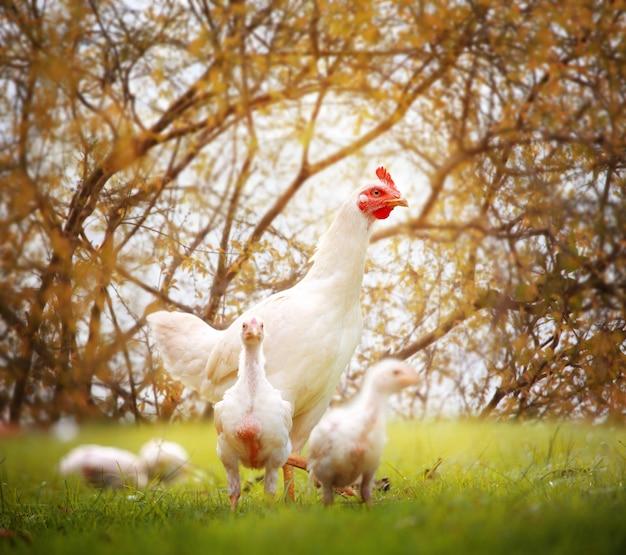 Poule blanche et poulets dans la nature, élevage en liberté, élevage sans antibiotiques et sans hormones.