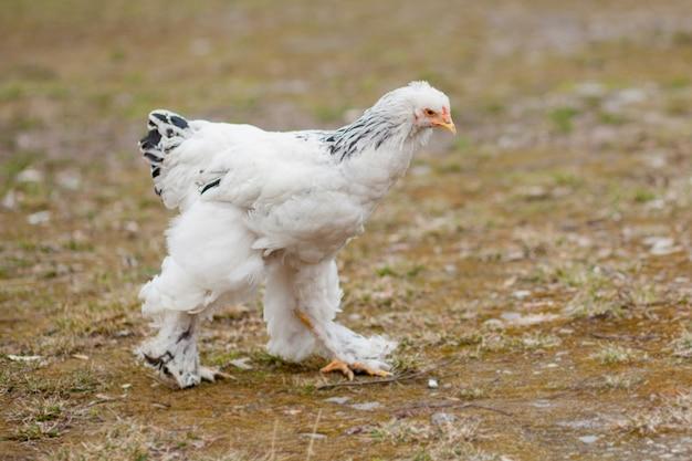 Poule blanche saine cultivée sur l'herbe verte