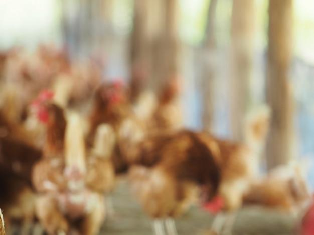 Poule bleue, œuf de poule dans une ferme.