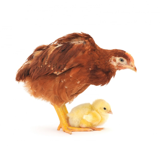 Poule brune et poussin