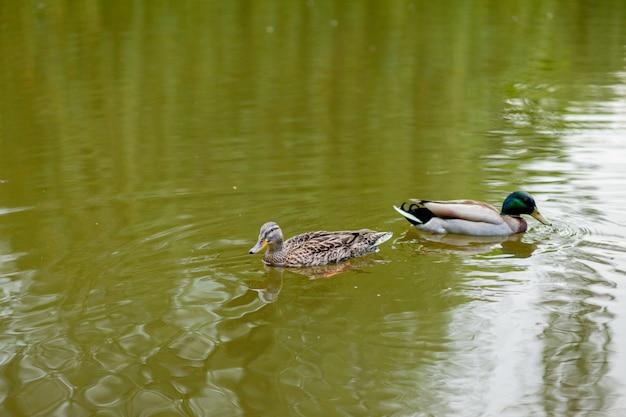 Une poule et un canard colvert drake nagent ensemble