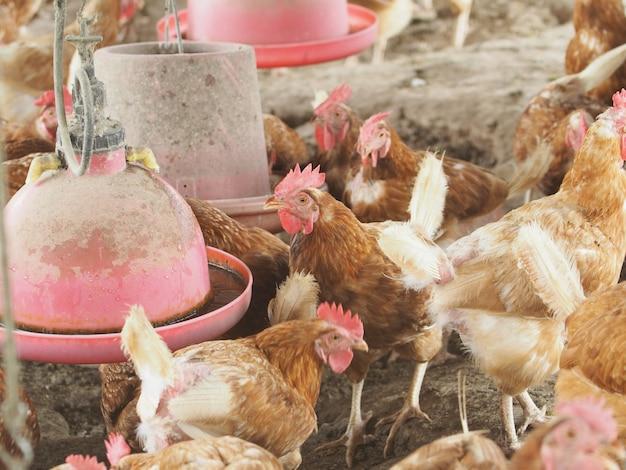Poule, œuf de poule dans une ferme.