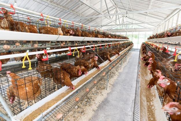 Poule, œufs de poule et poulets mangeant de la nourriture dans la ferme.