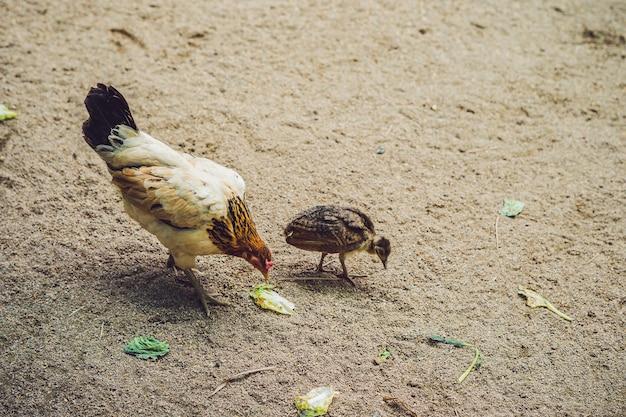 La poule et le poulet recherchent des céréales au sol