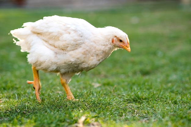 La poule se nourrit de basse-cour rurale traditionnelle. gros poulet debout sur cour de grange avec de l'herbe verte. concept d'élevage de volailles en libre parcours.