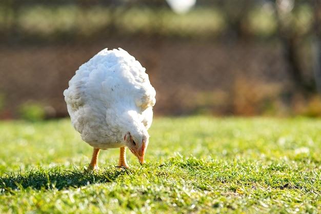 La poule se nourrit de basse-cour rurale traditionnelle. gros poulet debout sur la cour de la grange avec de l'herbe verte. concept d'élevage de volailles en libre parcours.