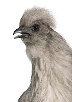 Poule silkie gris, debout